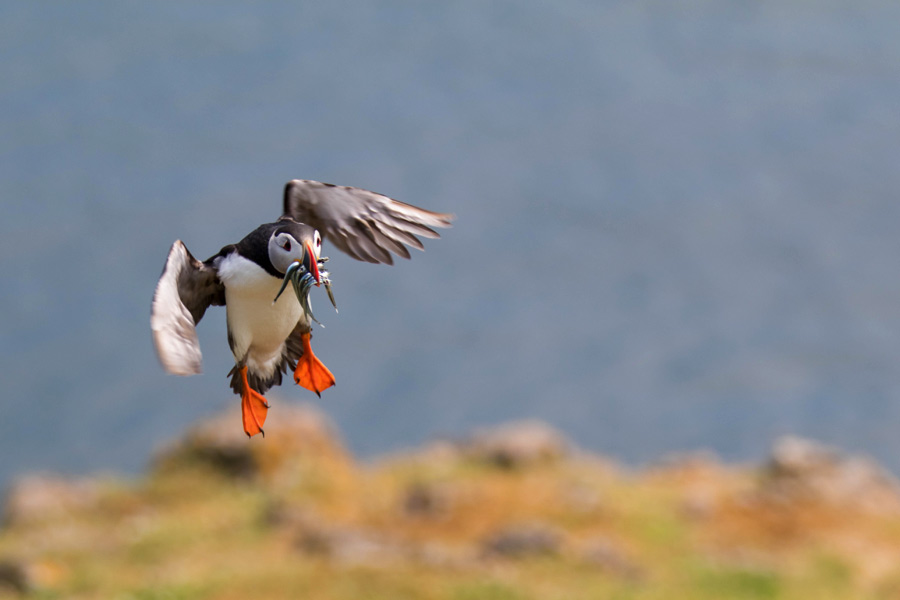 The Best Settings for Wildlife Photography on Britain's Most Biodiverse Isle - Skomer Island
